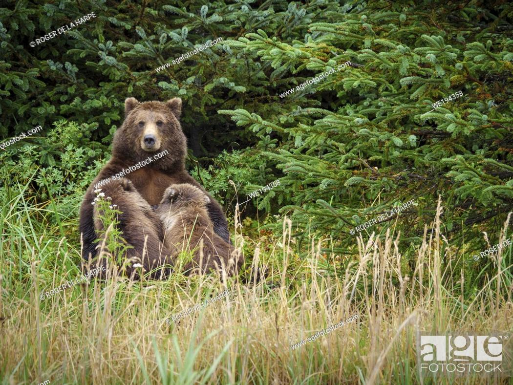 Stock Photo: Coastal brown bear, also known as Grizzly Bear (Ursus Arctos) nursing cubs. South Central Alaska. United States of America (USA).