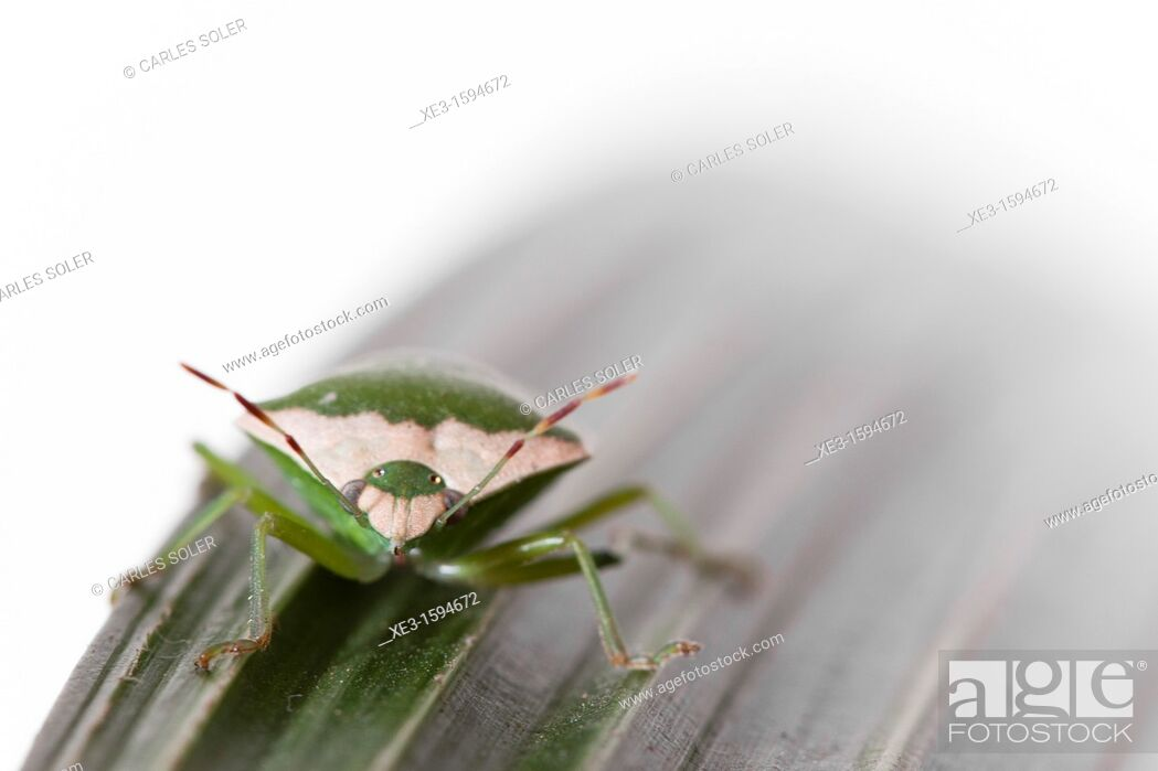 Stock Photo: Green bug over green leaf.