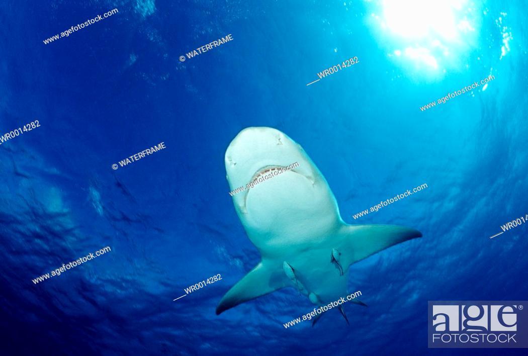 Imagen: Lemon Shark, Negaprion brevirostris, Atlantic, Caribbean Sea, Bahamas.