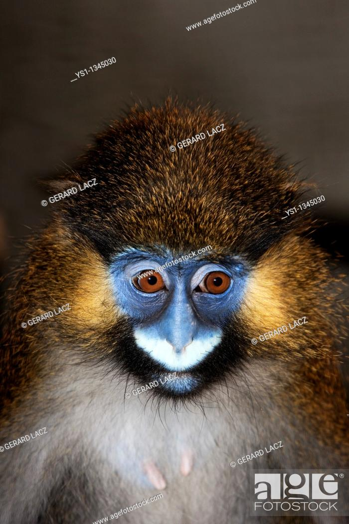 Stock Photo: MOUSTACHED MONKEY OR MUSTACHED MONKEY cercopithecus cephus, PORTRAIT OF FEMALE.