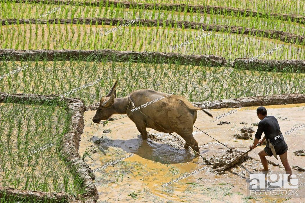 Stock Photo: Farmer with buffalo plough tills rice terraces near Sapa Vietnam.