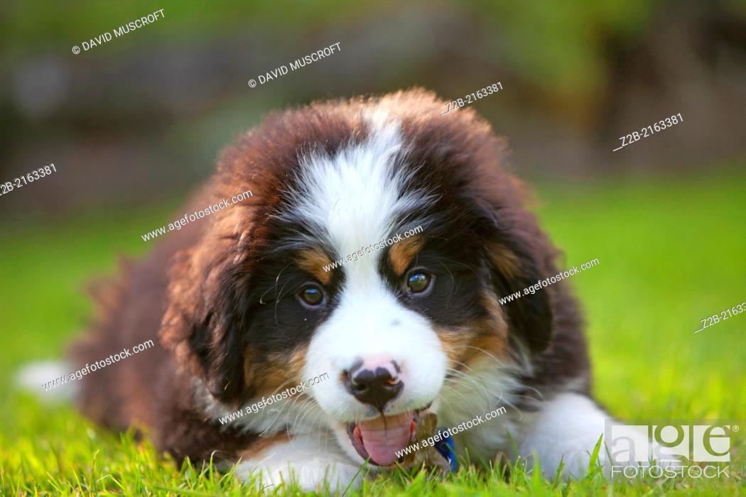 Stock Photo: Bernese Mountain Dog puppy.