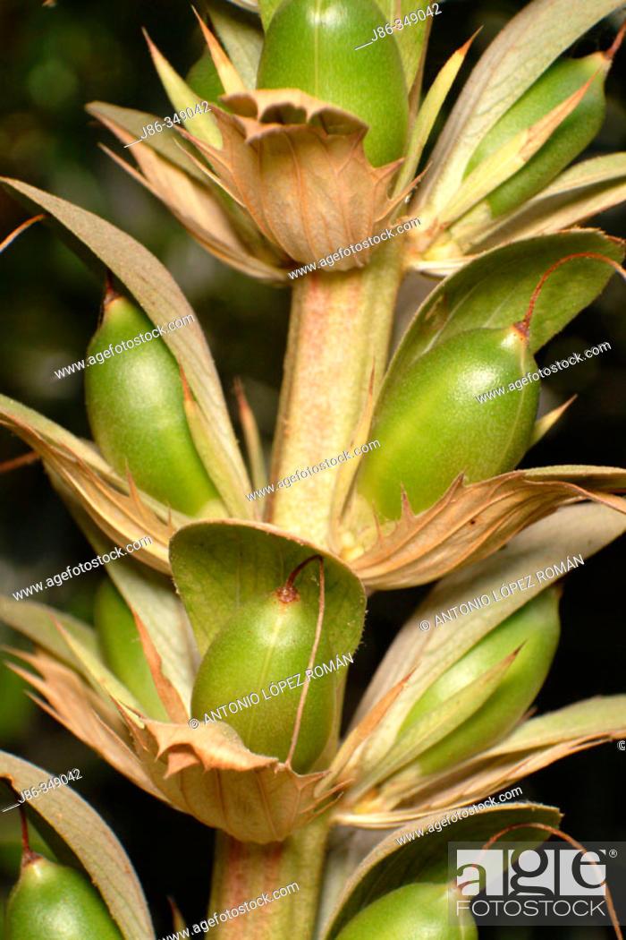 Stock Photo: Acanthus mollis.