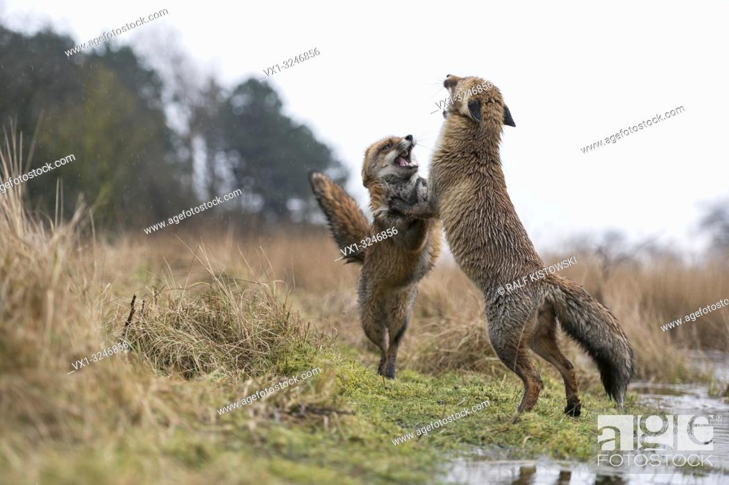 Imagen: European Red Foxes / Rotfuechse ( Vulpes vulpes ) in hard fight, standing on hind legs, spectacular low point of view, in their habitat.