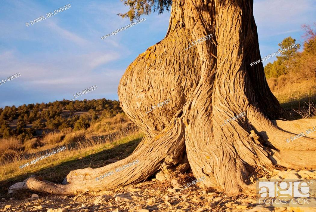 Stock Photo: Juniperus thurifera trunk malformation, Las Blancas, Puebla de San Miguel, Natural park of Puebla de San Miguel, Ademuz, Rincón de Ademuz, Valencia.