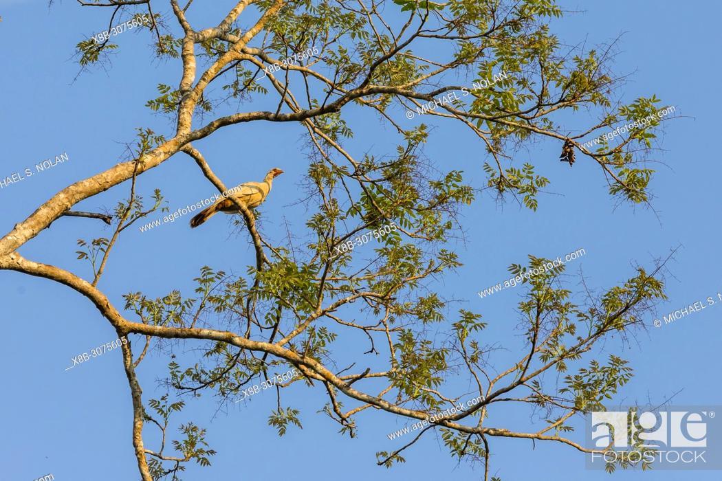 Stock Photo: An adult chaco chachalaca, Ortalis canicollis pantanalensis, Mato Grasso, Brazil.