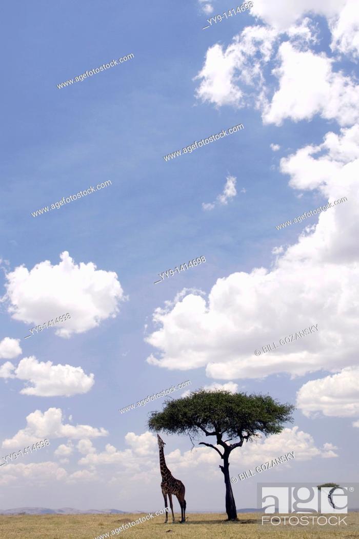 Stock Photo: Masai Giraffe feeding on Acacia Tree in vast Mara landscape - Masai Mara National Reserve, Kenya.
