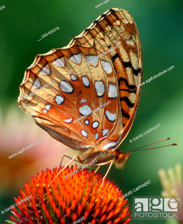 Stock Photo: Great spangled fritillary (Speyeria Cybele) on cone flower. Matthaei Botanical Garden. Ann Arbor. Michigan, USA.
