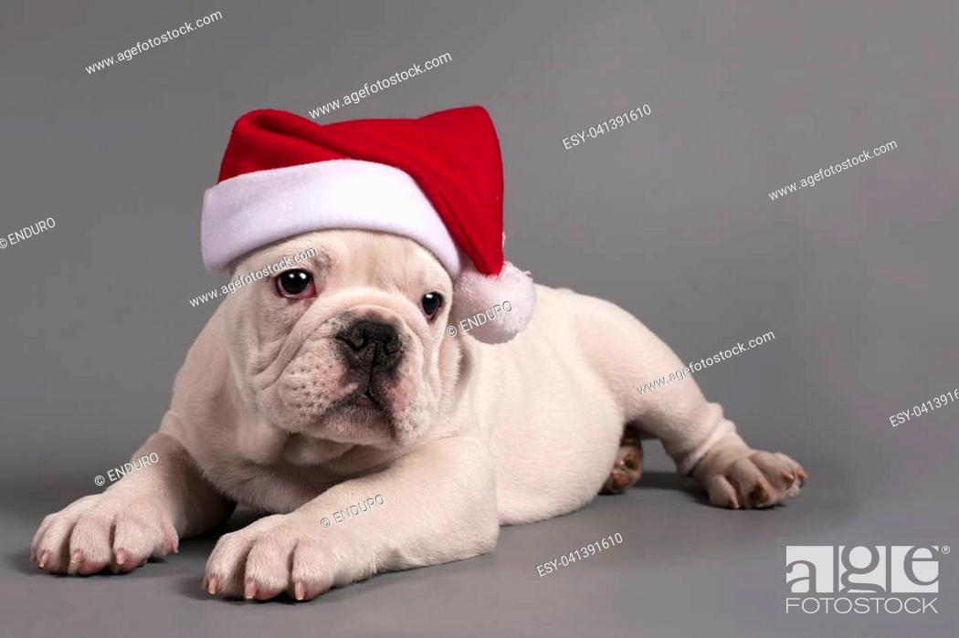 Cute English Bulldog Puppy With Santa Hat On A Gray Background Stock Photo Picture And Low Budget Royalty Free Image Pic Esy 041391610 Agefotostock