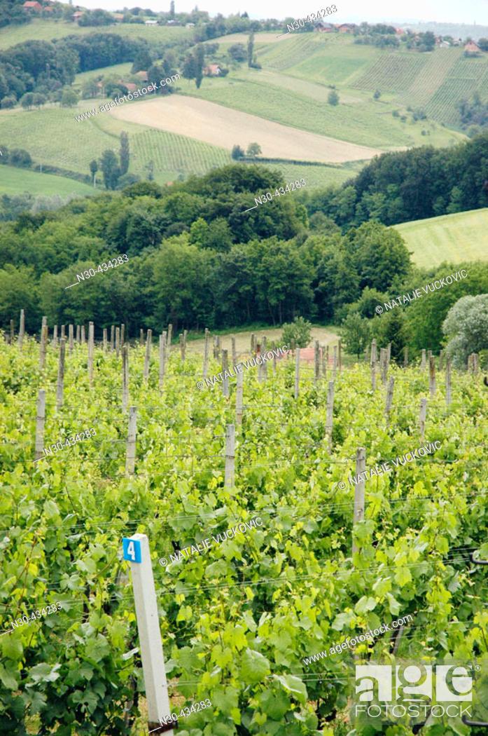 Stock Photo: Vineyards near Maribor, Slovenia.