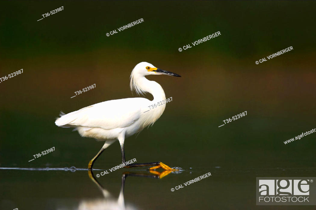 Stock Photo: A Snowy Egret (Egretta thula) wading in the shallow water of the West Pond at Jamaica Bay National Wildlife Refuge. The trademark yellow foot of the Snowy Egret.
