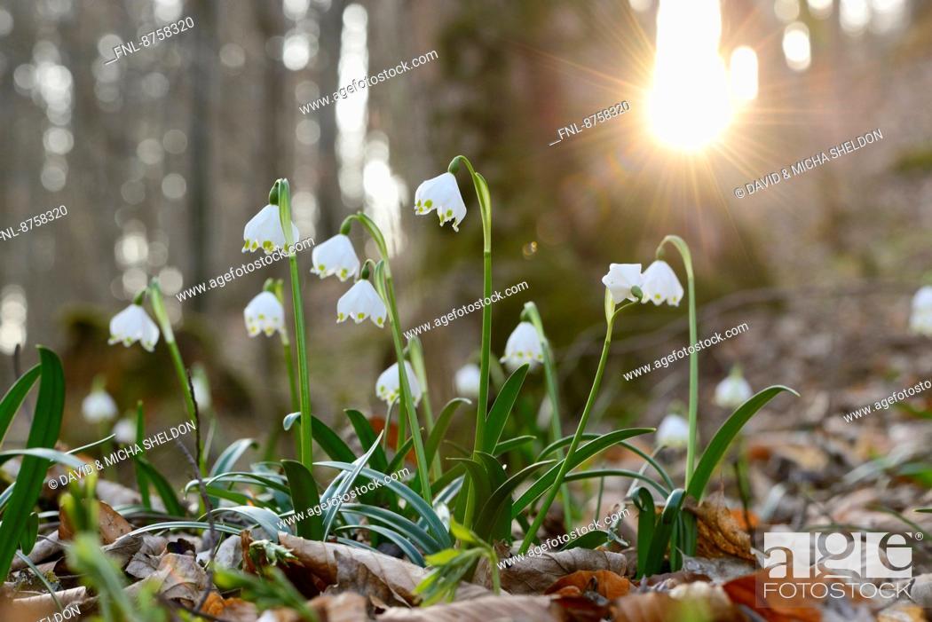 Imagen: Spring Snowflakes, Leucojum vernum, in forest, Upper Palatinate, Bavaria, Germany, Europe.