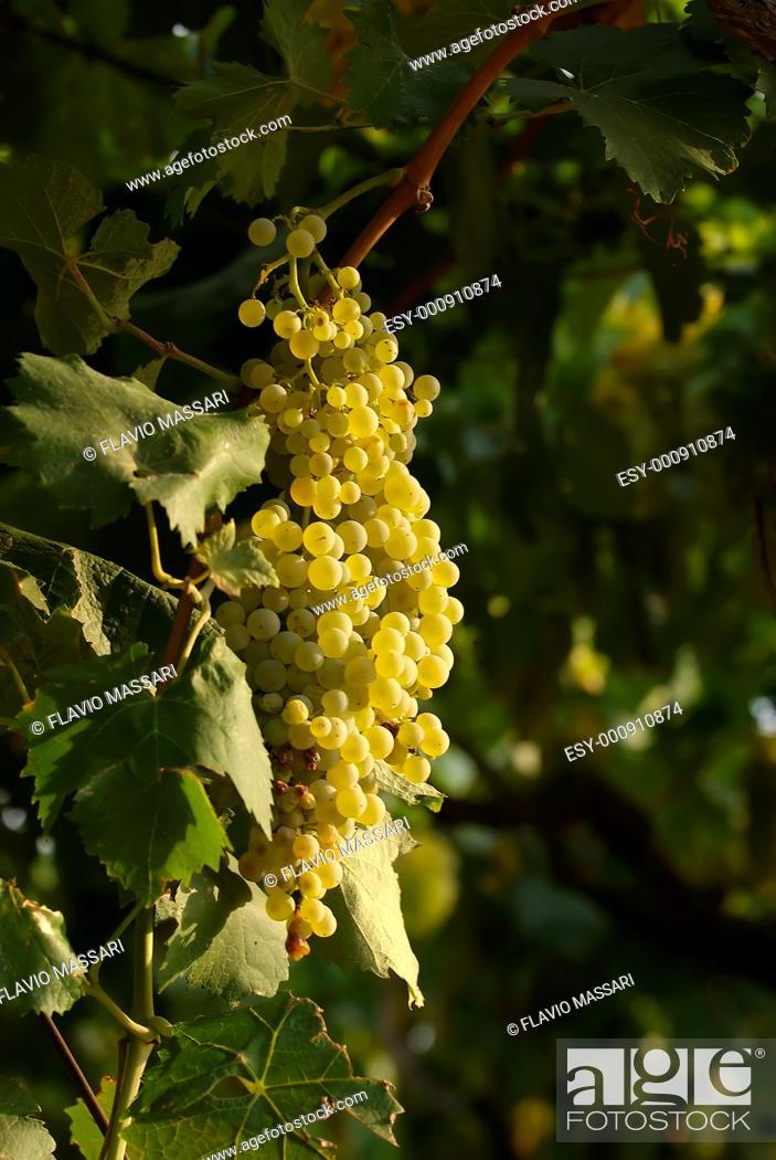Stock Photo: grapevine in the vineyard.