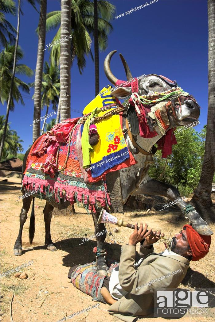 Stock Photo: Musician Kankaya with 400 kilogram costumed bull Santos in Mandrem Goa India.
