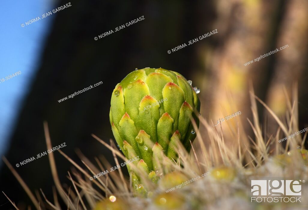 Stock Photo: Droplets of nectar appear on buds of saguaro cactus prior to the flower blooming, Silverbell Mountains, Ragged Top Peak, Ironwood Forest National Monument.