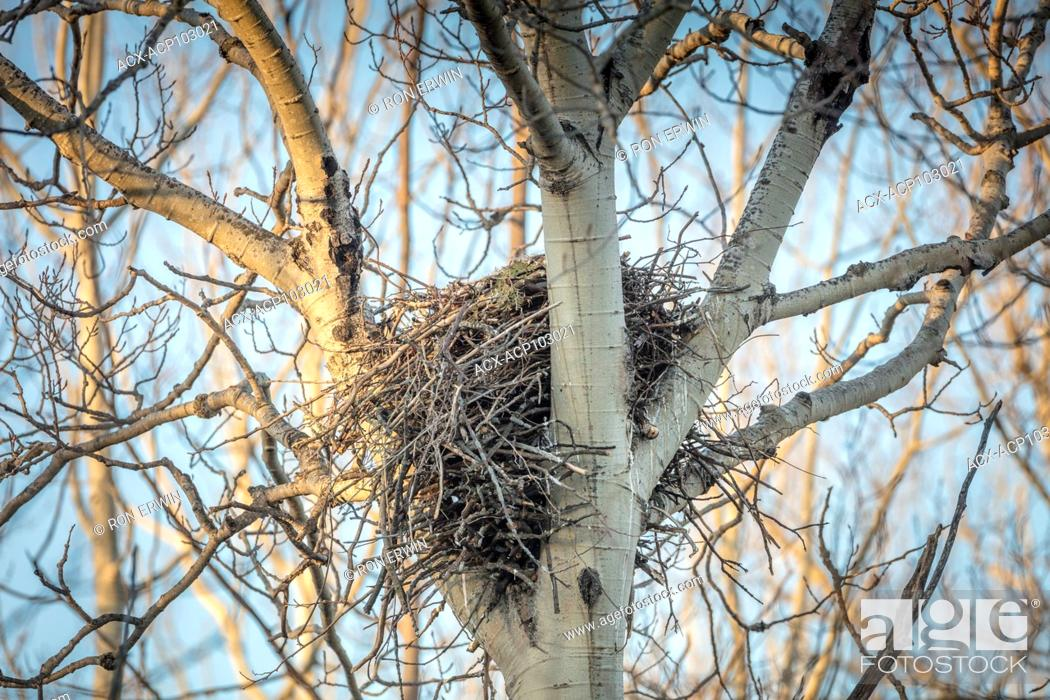 Photo de stock: Common Raven (Corvus corax) nest, Barrie Island, Manitoulin Island, Ontario, Canada.