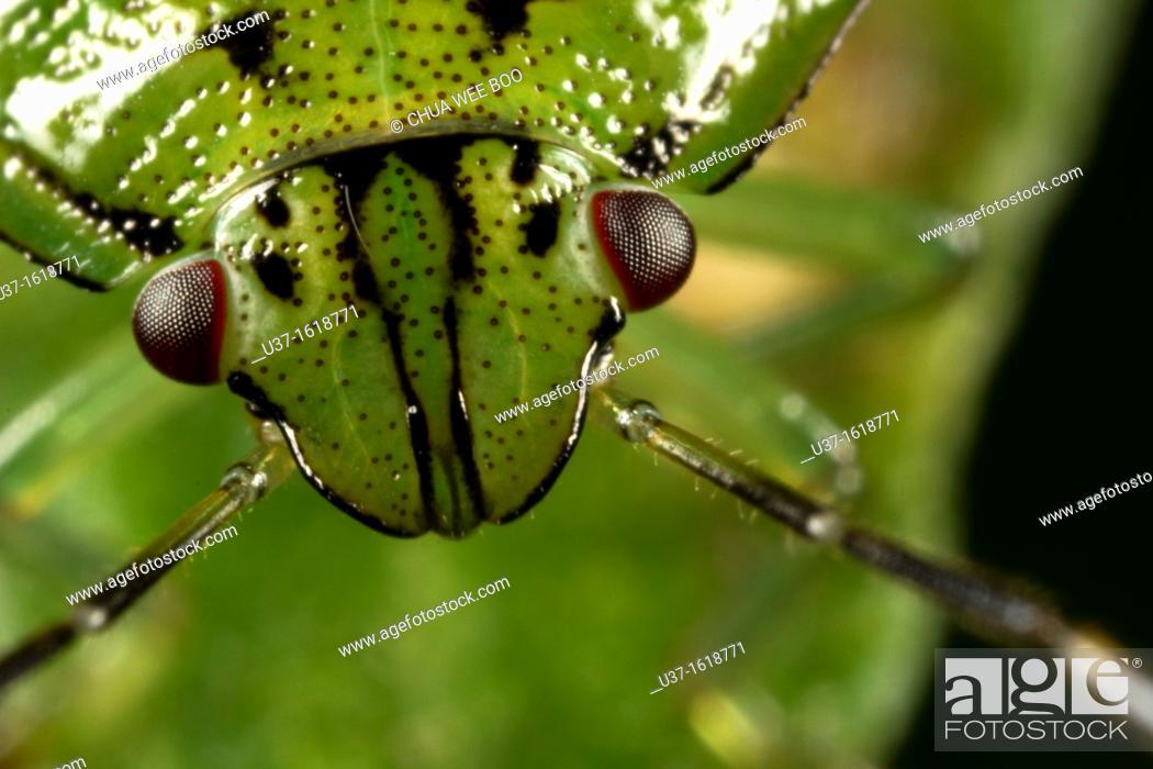 Stock Photo: Beetle found at Kampung Skudup, Sarawak, Borneo.