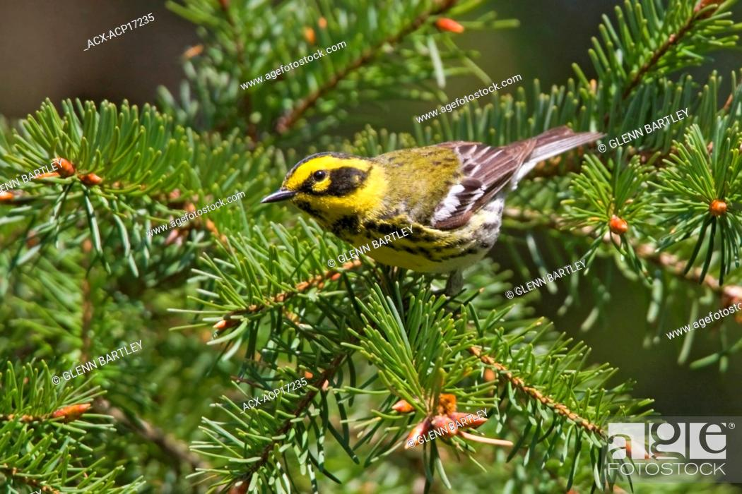 Stock Photo: Townsend's warbler Dendroica townsendi perched on an evergreen branch in Victoria, Vancouver Island, British Columbia, Canada.