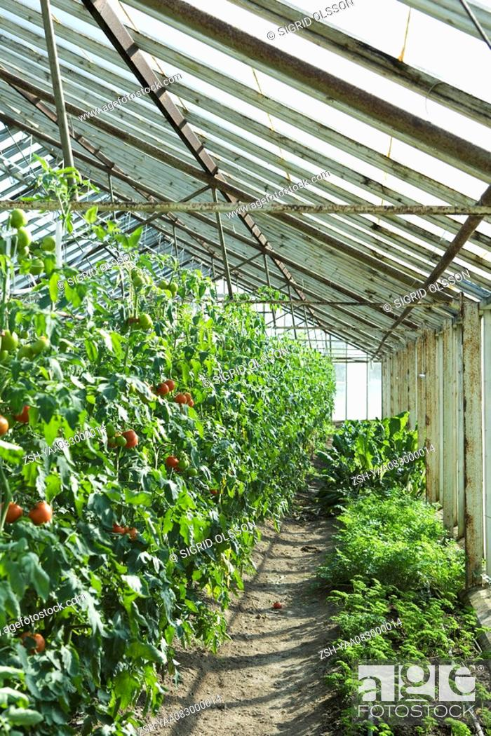 Stock Photo: Tomatoes and herbs growing in greenhouse.