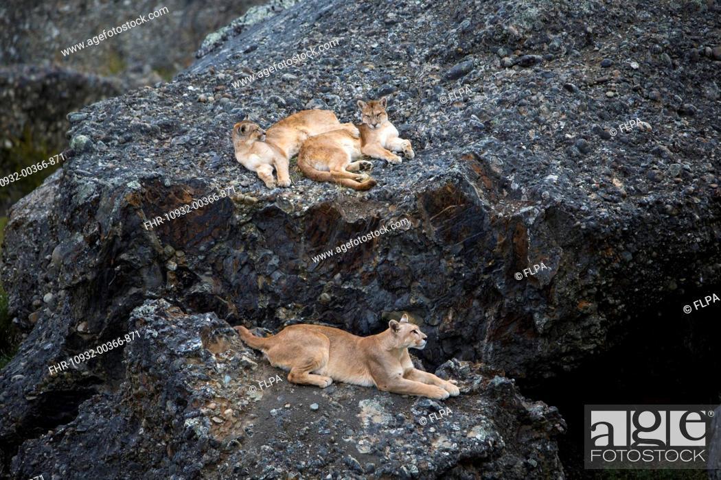 b58006d3e375 Stock Photo - Puma (Puma concolor puma) adult female and two cubs