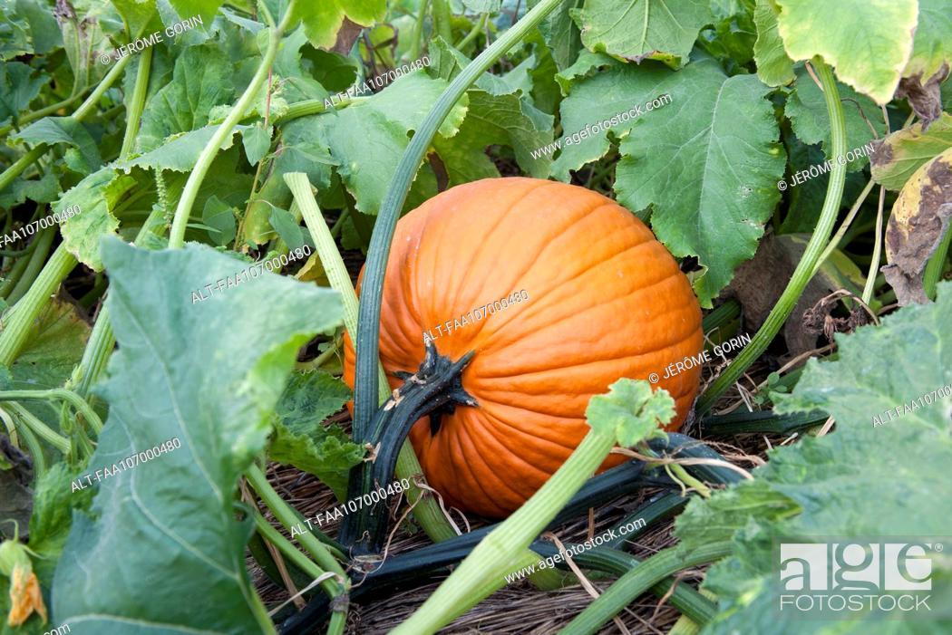 Stock Photo: Pumpkin growing pumpkin patch.
