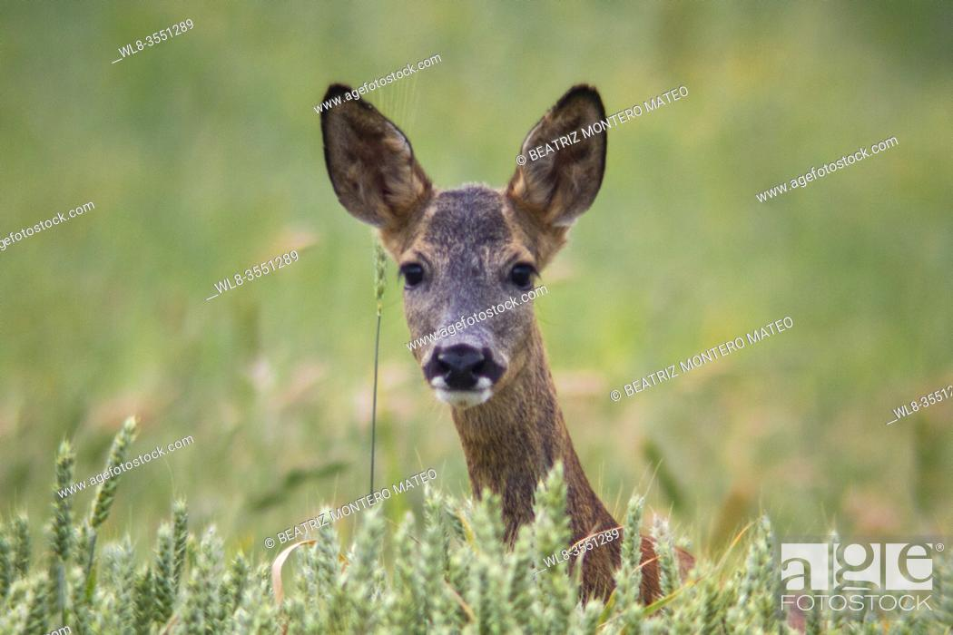 Stock Photo: Roe deer grazing on wheats in Carazo, a village of Burgos in Spain.