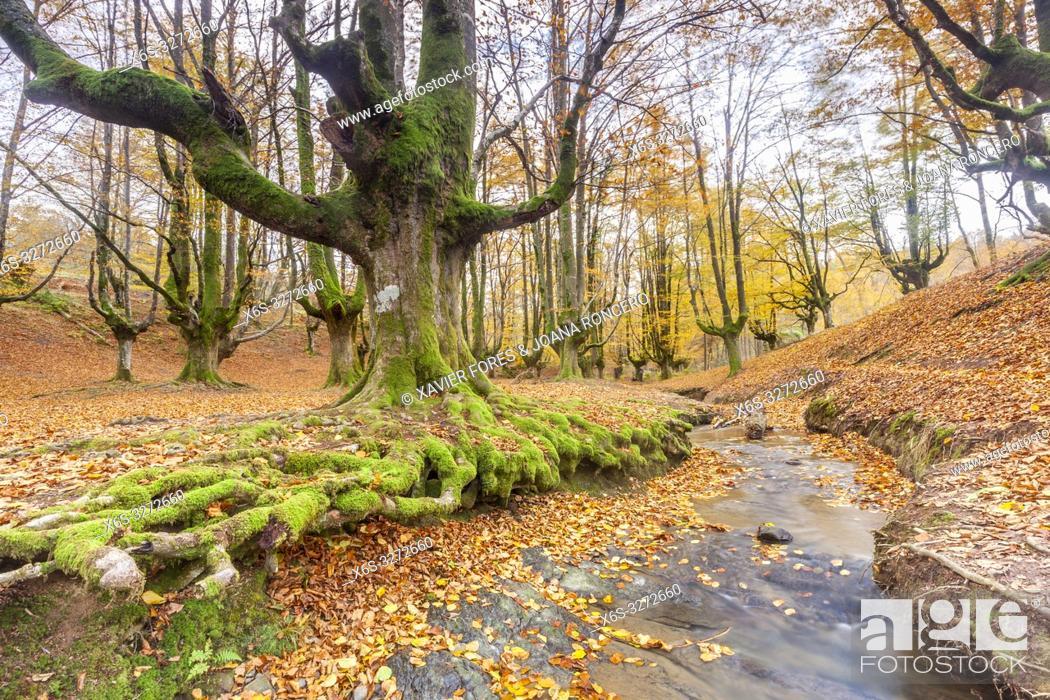Imagen: Beech trees forest of Otzarreta, Natural Park of Gorbeia, Vizcaya, Spain.