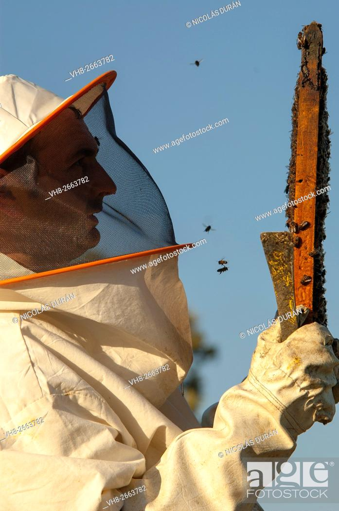 Stock Photo: Beekeeper working with hives. Zafra, Badajoz province, Extremadura, Spain.