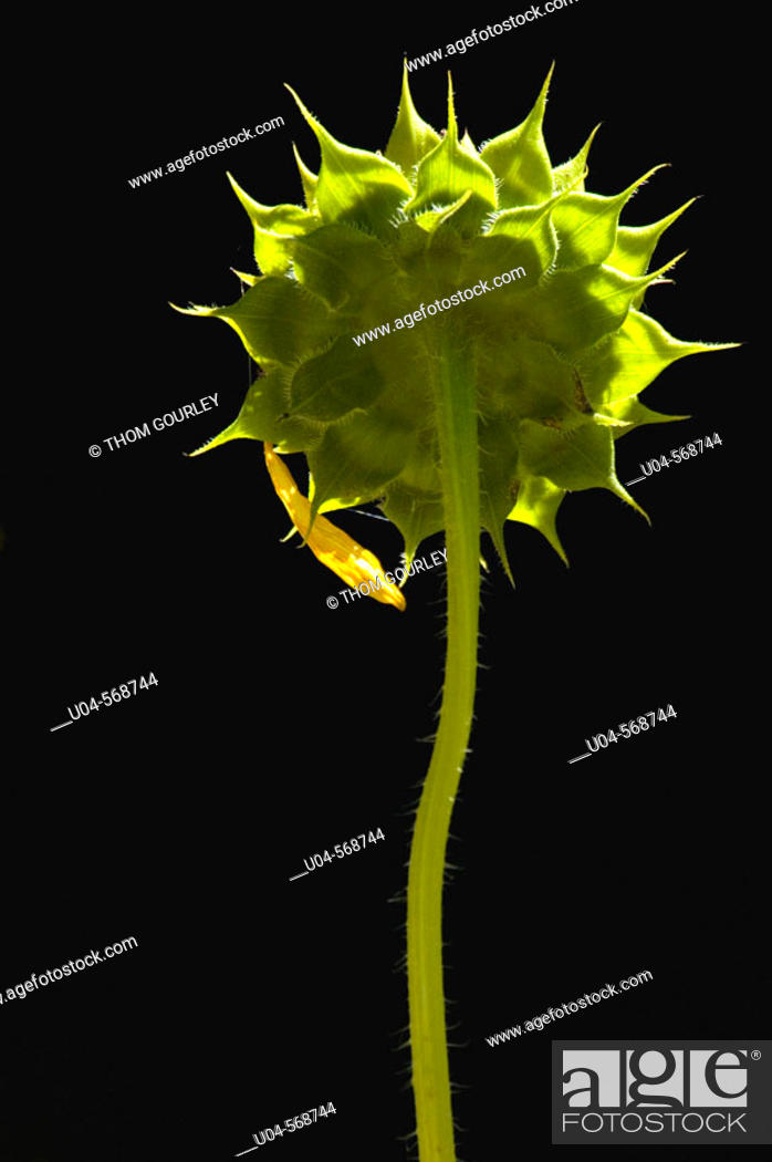 Stock Photo: Backlit sunflower.