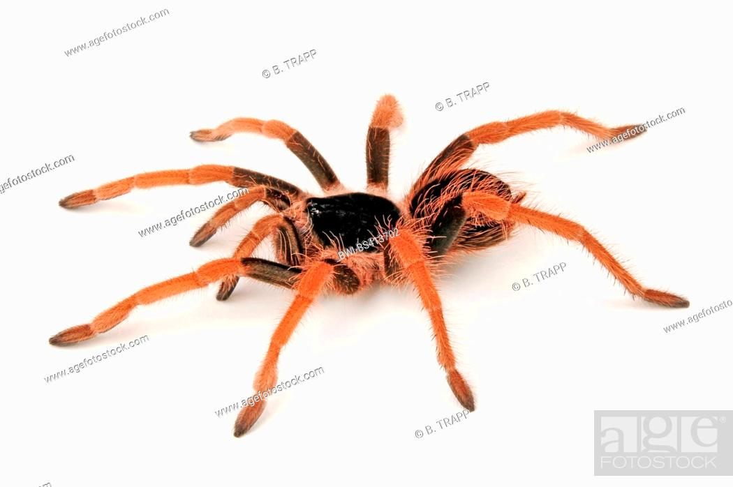 Stock Photo: Colombian giantblack tarantula (Xenesthis monstrosa), spiderling, cut-out.