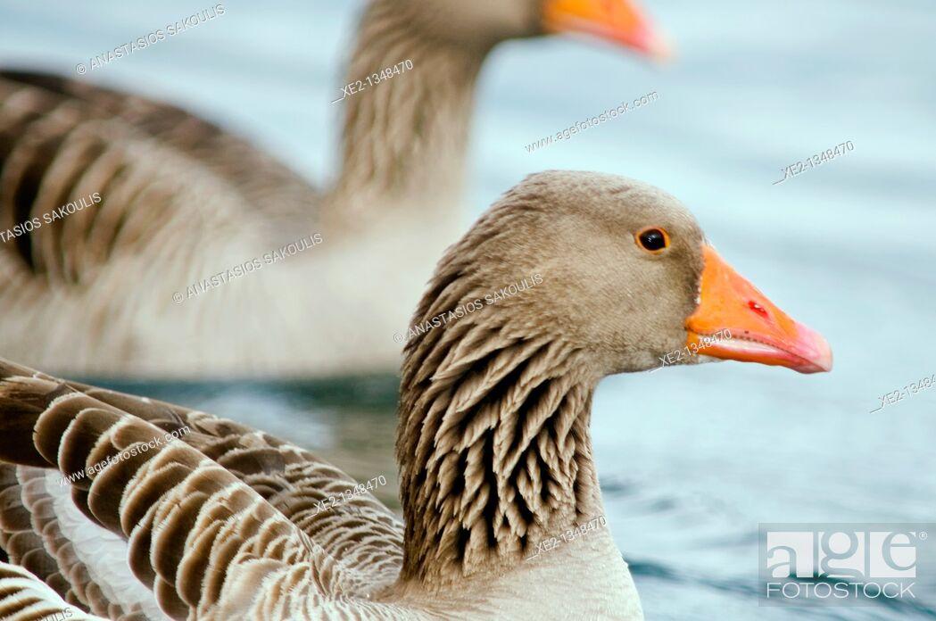 Stock Photo: Tame Greylag Goose -Anser anser, Agia Lake, Crete.