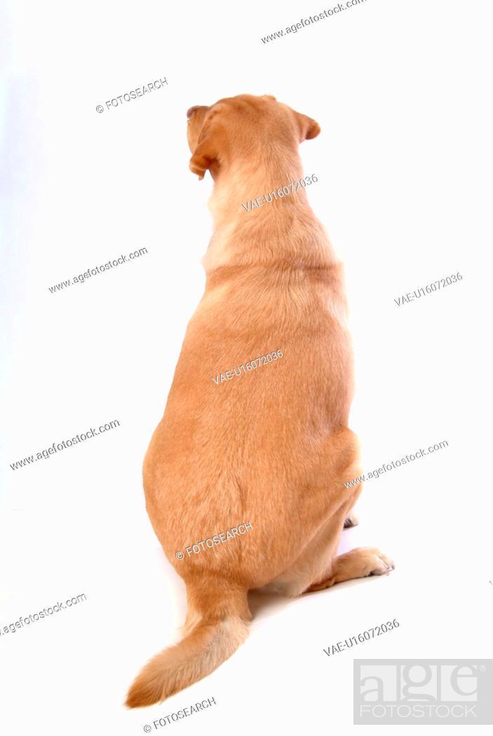 Stock Photo: house pet, domestic, cute, loving, canines, faithful, labrador retriever.