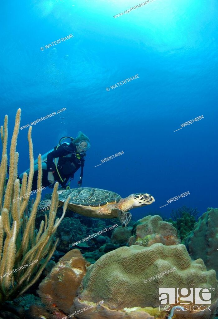 Stock Photo: Hawksbill Sea Turtle and Diver, Eretmochelys imbricata, Caribbean Sea, Netherland Antilles, Curacao.