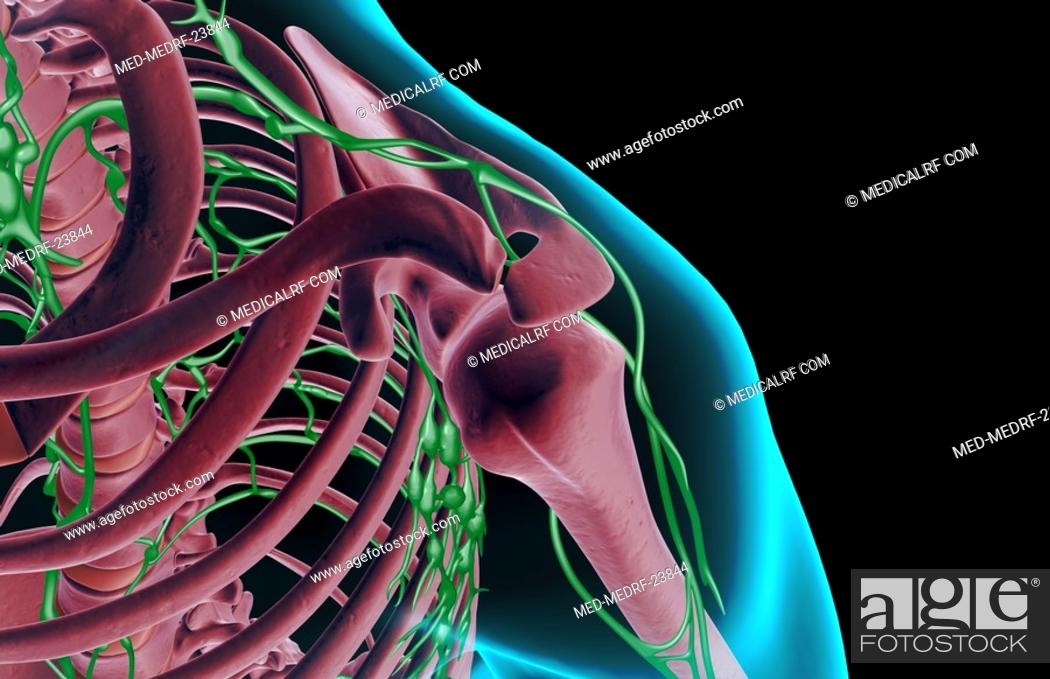 Stock Photo: The lymph supply of the shoulder.
