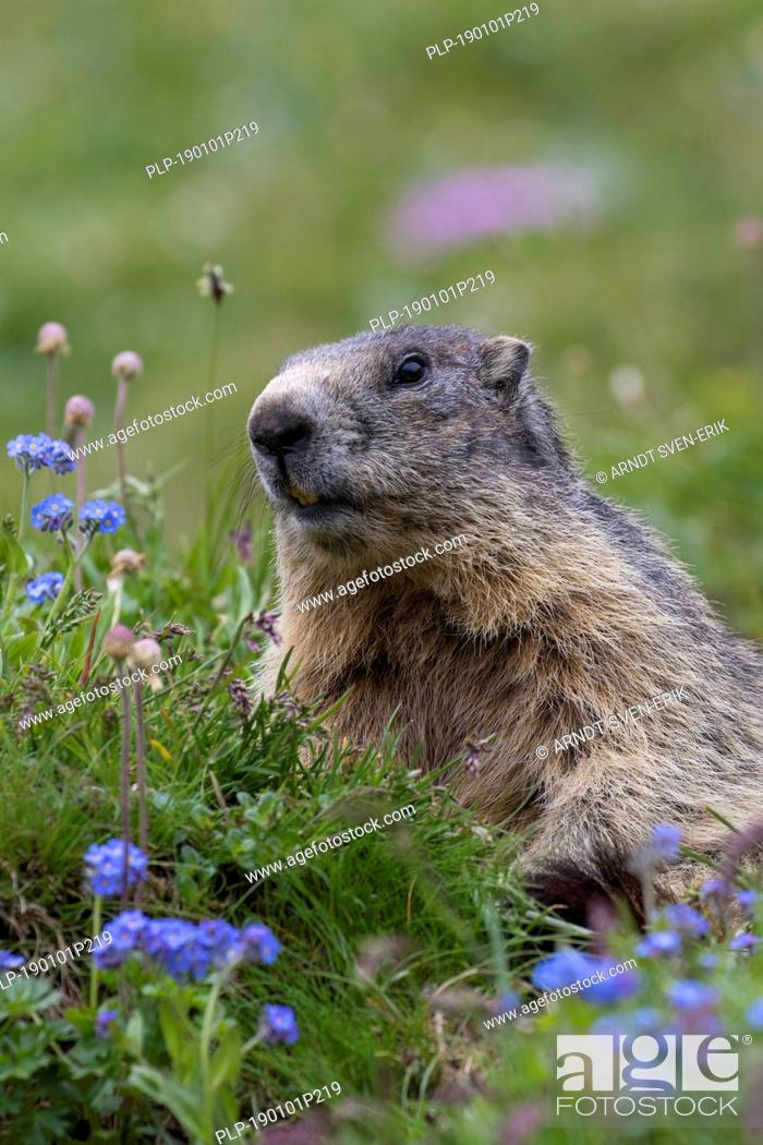 Stock Photo: Alpine marmot (Marmota marmota) among wildflowers in summer in the Alps.