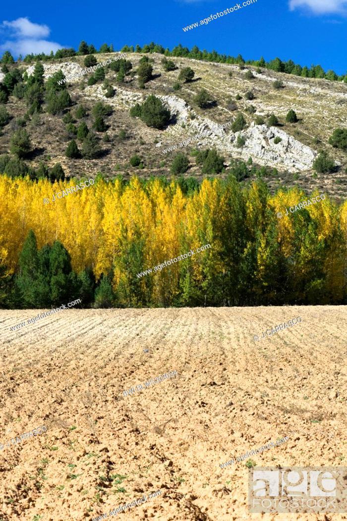 Stock Photo: white poplar, silver-leaved poplar, abele Populus alba, reforested between cultive field and mountain, Spain, Aragon, Sierra Albarracin, Teruel.