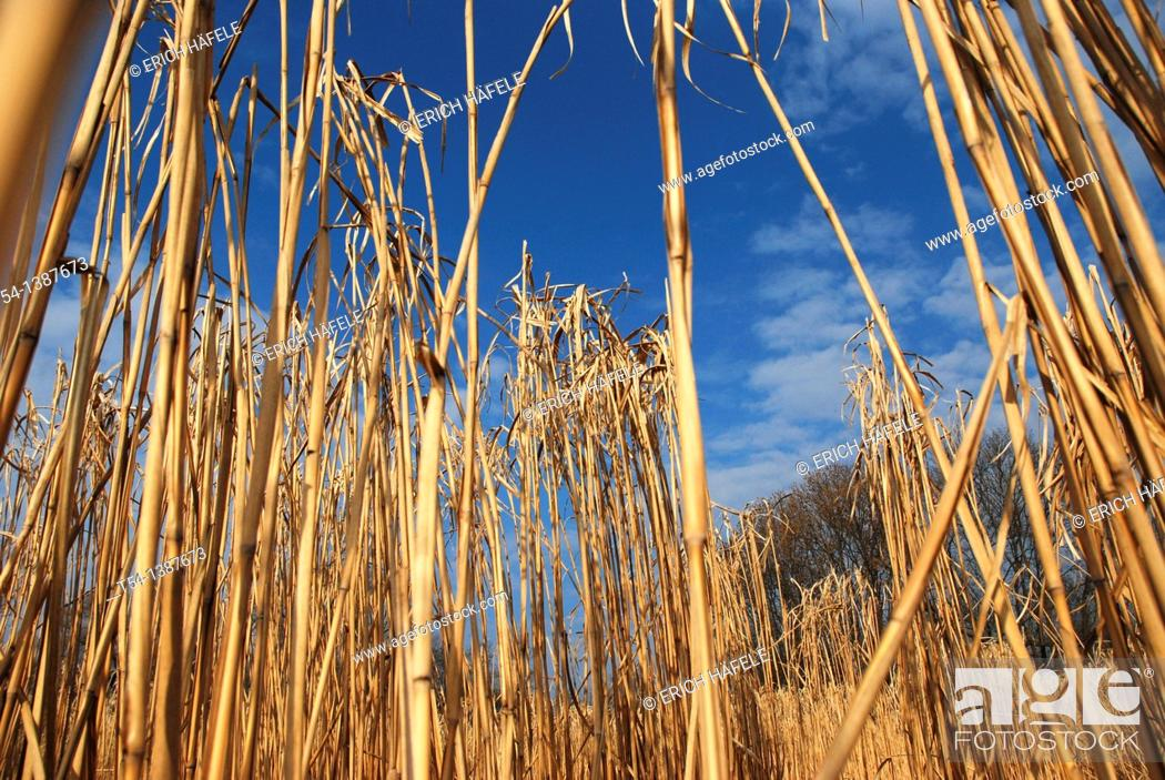 Stock Photo: Dry Reed.