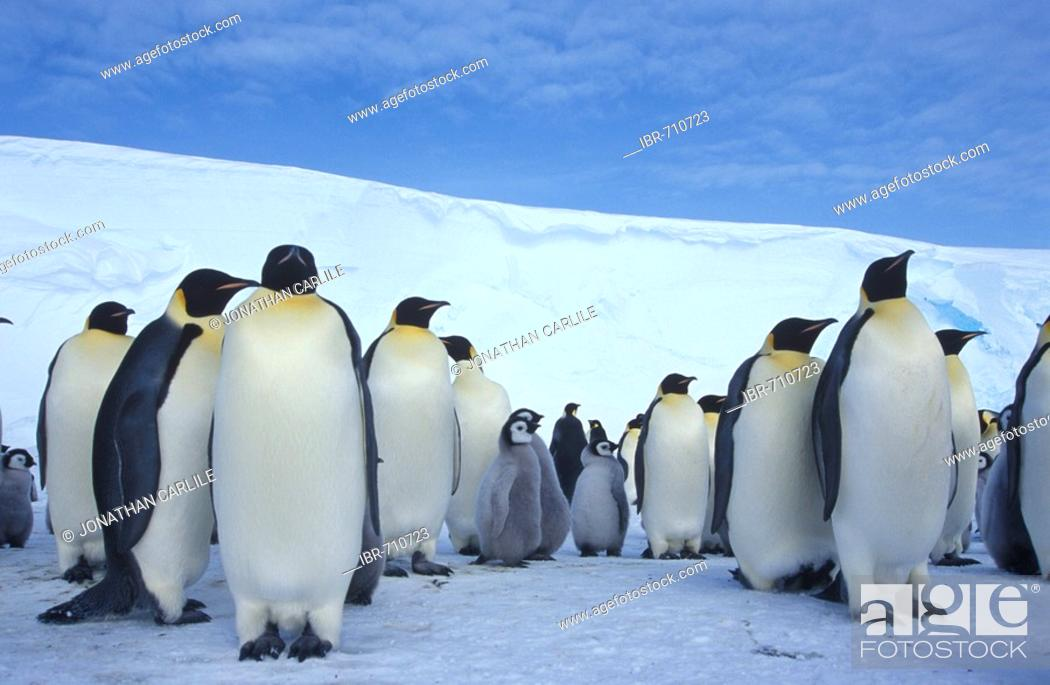 Stock Photo: Emperor Penguins (Aptenodytes forsteri), colony.