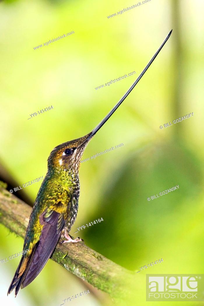 Stock Photo: Sword-billed Hummingbird - Guango Lodge - near Papallacta, Ecuador.