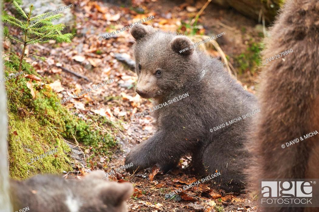 Stock Photo: Close-up of a Eurasian or european brown bear (Ursus arctos arctos) cub in the bavarian forest in spring.
