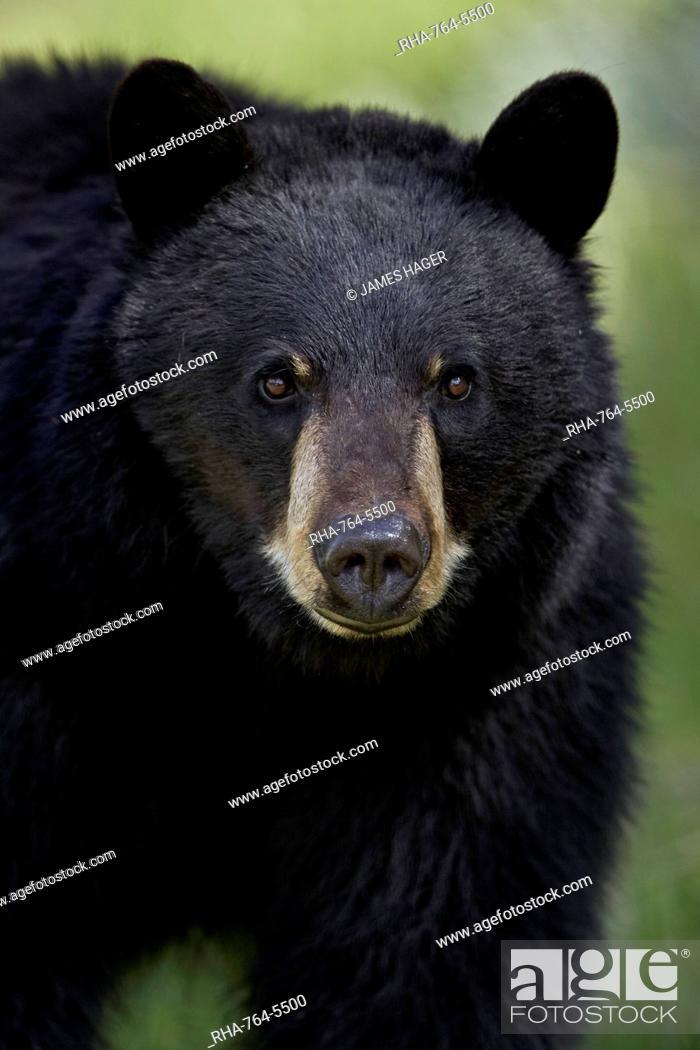 Stock Photo: Black bear (Ursus americanus), Yellowstone National Park, Wyoming, United States of America, North America.