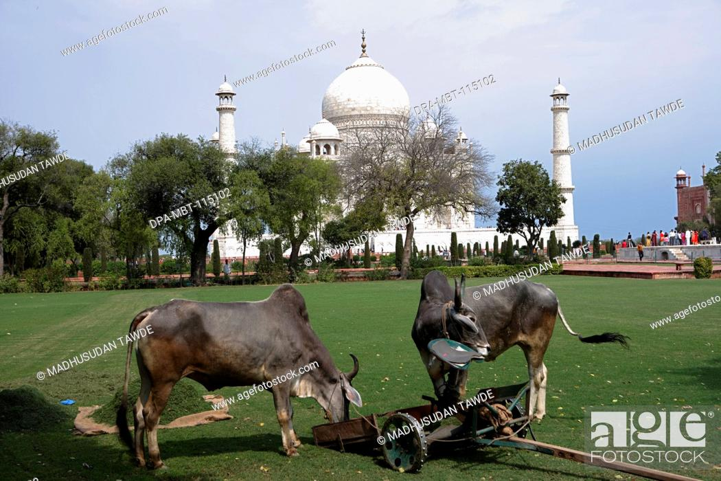 Stock Photo: Bullocks used for grass cutting of lawn in garden of Taj Mahal Seventh Wonders of World on the south bank of Yamuna river , Agra , Uttar Pradesh.