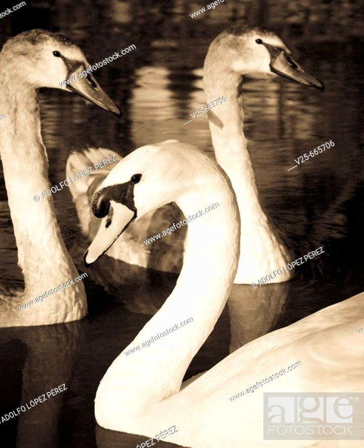 Stock Photo: Swans. Spain.