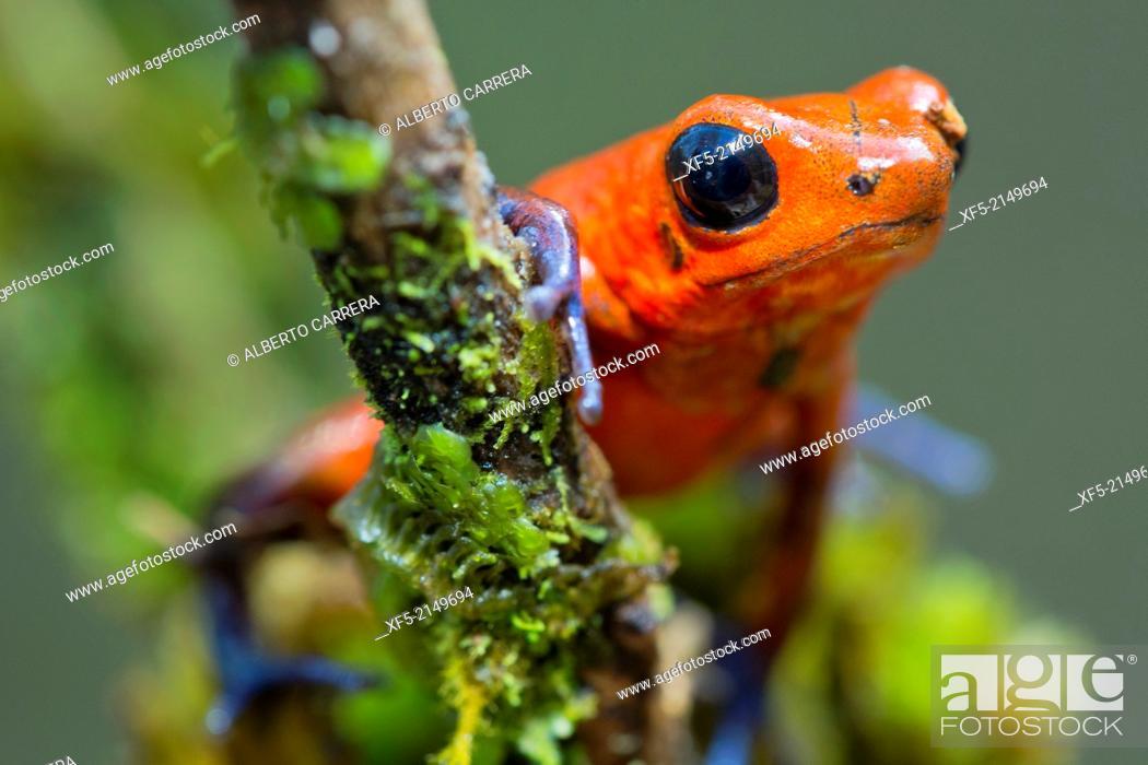Stock Photo: Dart Poison Frog, Blue Jeans, Oophaga pumilio, Dendrobates pumilio,Tropical Rainforest, Costa Rica, Central America, America.