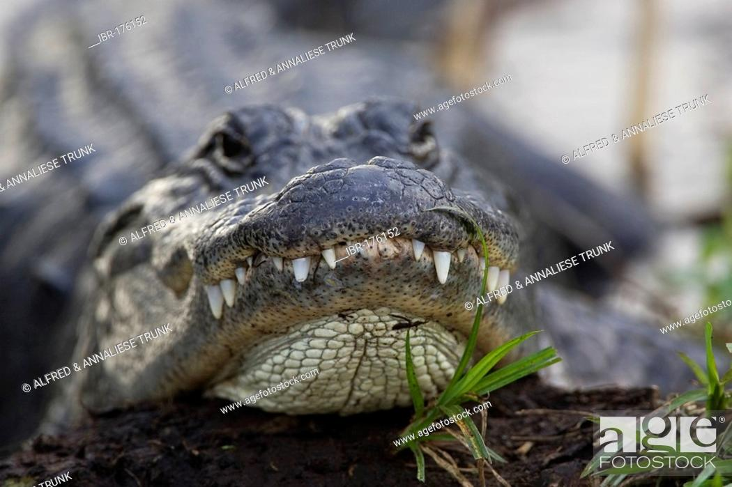 Stock Photo: Alligator mississippiensis Aligator.