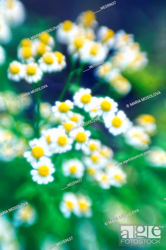 Stock Photo: Feverfew daisies. Tanacetum parthenium. July 2006, Maryland, USA.