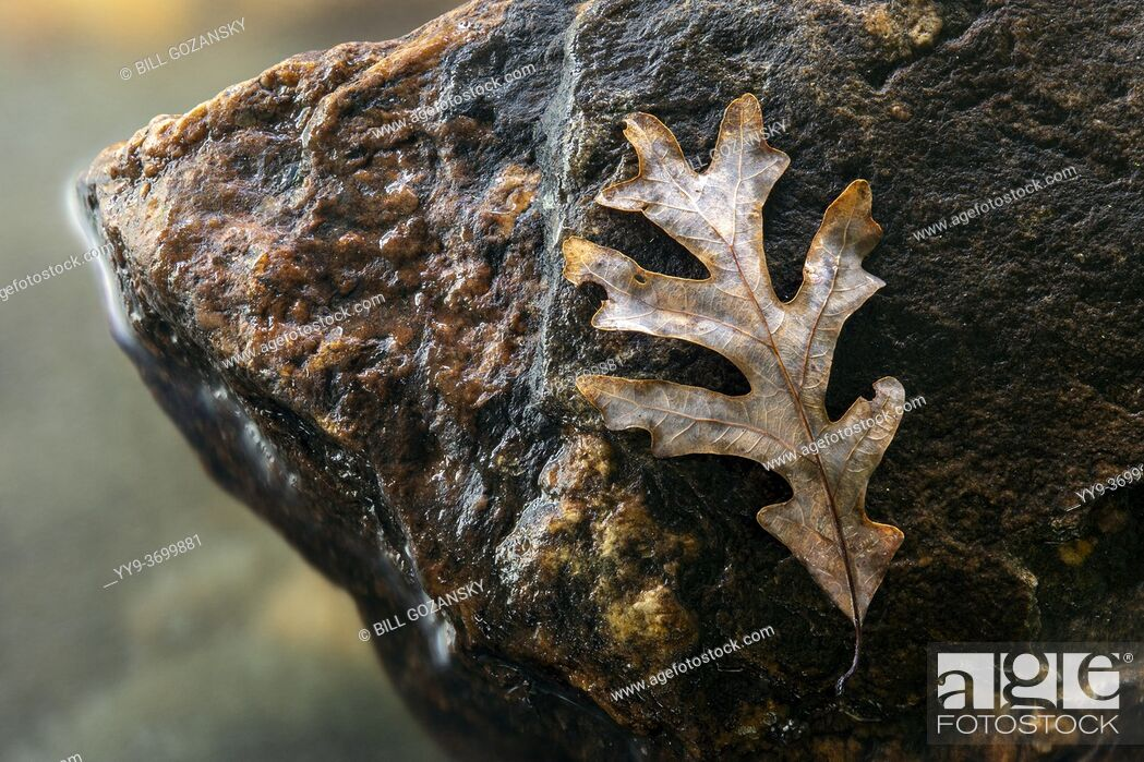 Stock Photo: Fallen oak leaf isolated on rock by river - Pisgah National Forest, near Brevard, North Carolina, USA.