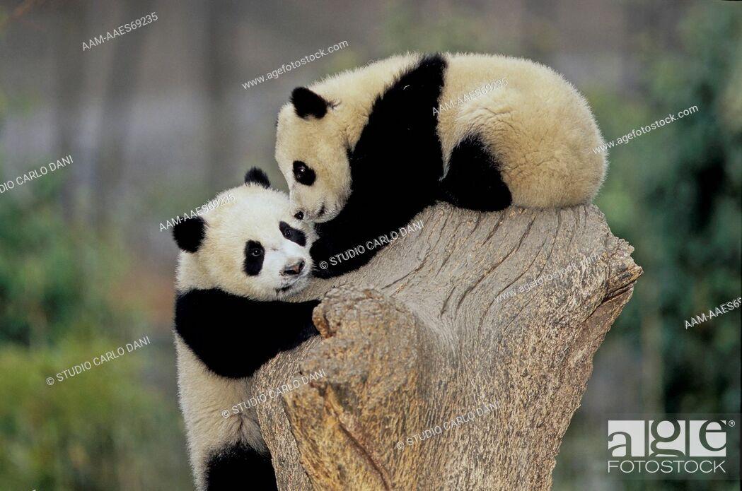 Stock Photo: Giant Panda (Ailuropoda Melanoleuca), Babies, Wolong, Sichuan, China, Sichuan Giant Panda Sanctuary, Man & Biosphere Protected Area, Unesco.