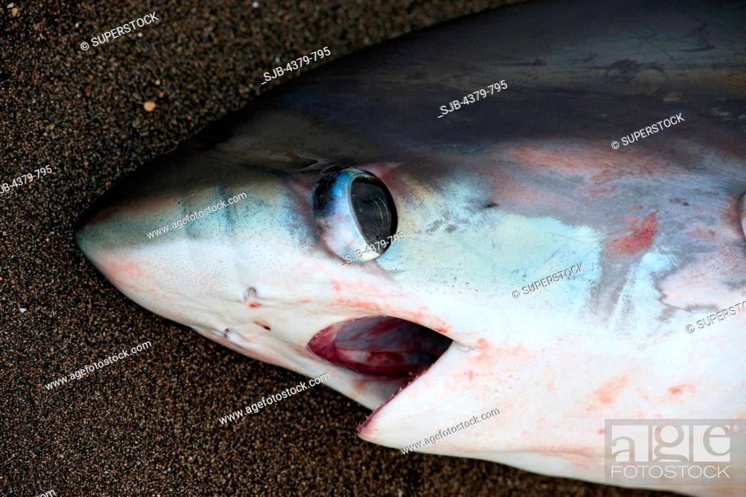 Stock Photo: A dead thresher shark on the beach, a fisherman's catch in Lamalera, Lembata Island, Eastern Indonesia.