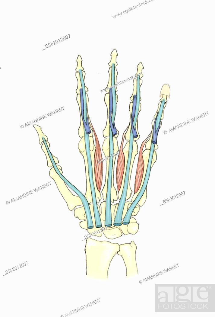 HAND, ILLUSTRATION Palmar view of the hand. The tendons of the ...